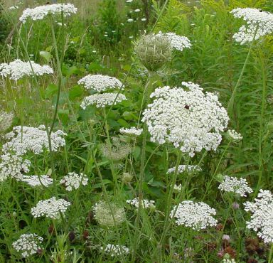 The Macrobiotic Stoner Blog Archive Using Queen Anne S Lace For